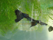 Moscow black guppies. Email ThisBlogThis!Share to TwitterShare to
