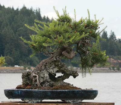 adjustment periods of bonsai to light change