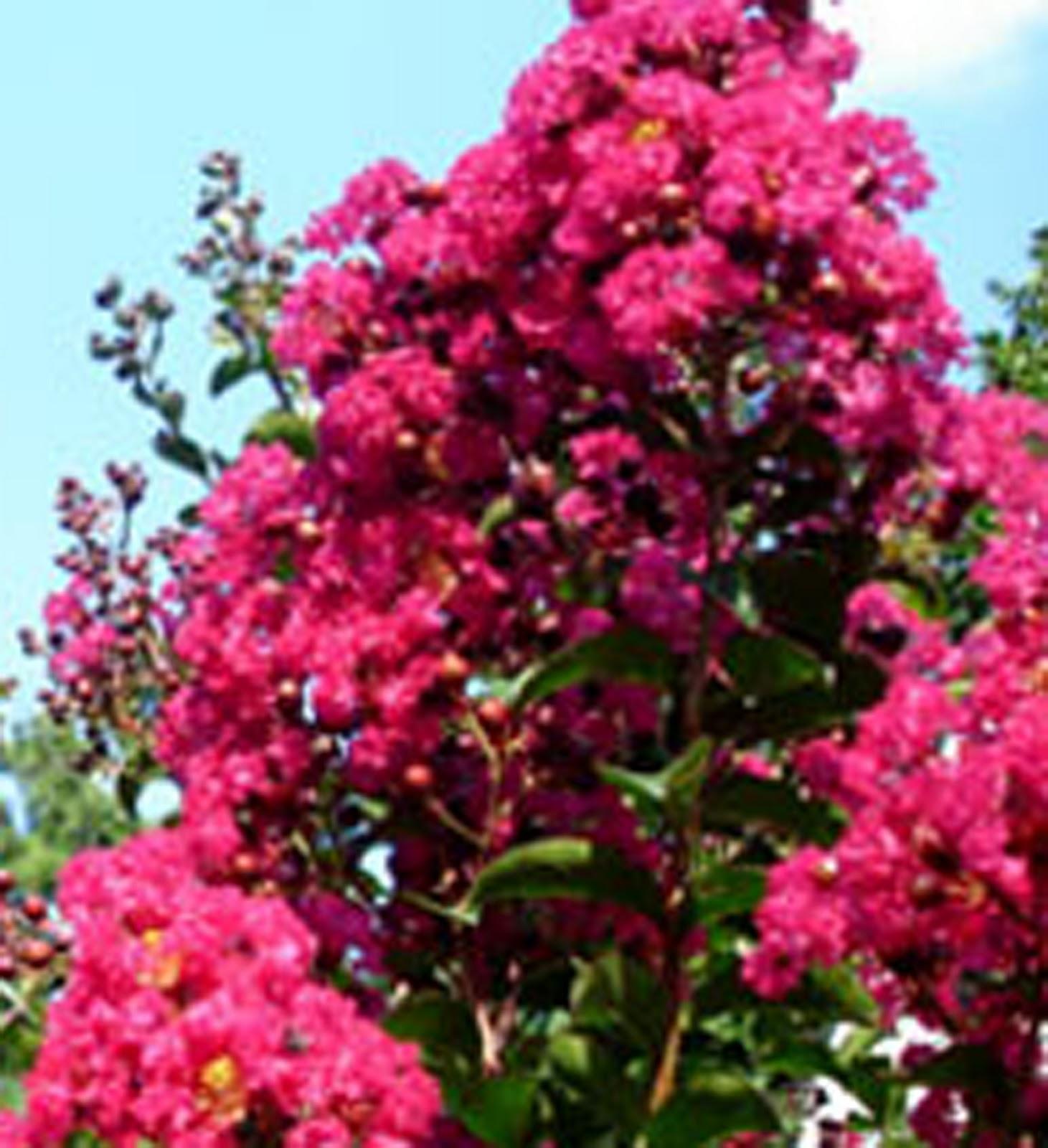 Crabapple landscapexperts fall flowering shubs part 4 of 4 - Blooming shrubs ...
