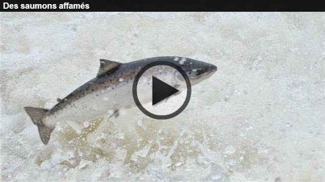 http://ici.radio-canada.ca/nouvelles/science/2014/04/04/001-saumons-atlantique-declin.shtml