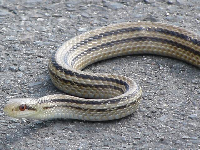 シマヘビの画像 p1_21