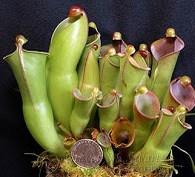 Tumbuhan Pemakan Serangga