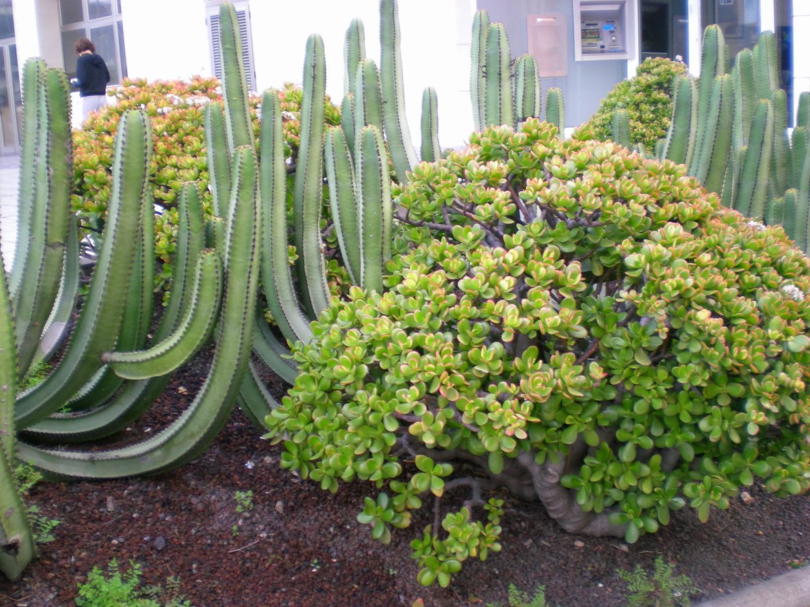 Plantas Autóctonas Canarias Paseo por Las Palmas de Gran Canaria