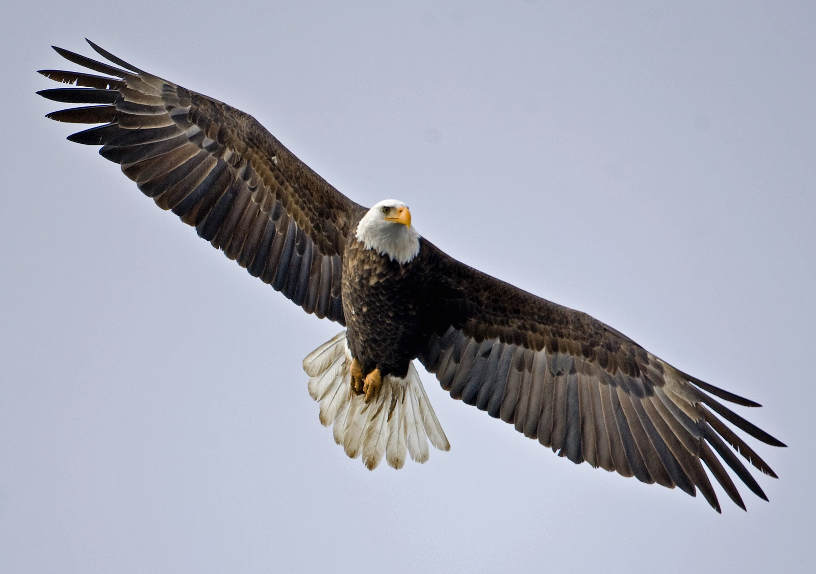 Bald Eagles Bird Population | Era Duju wallpaper blog