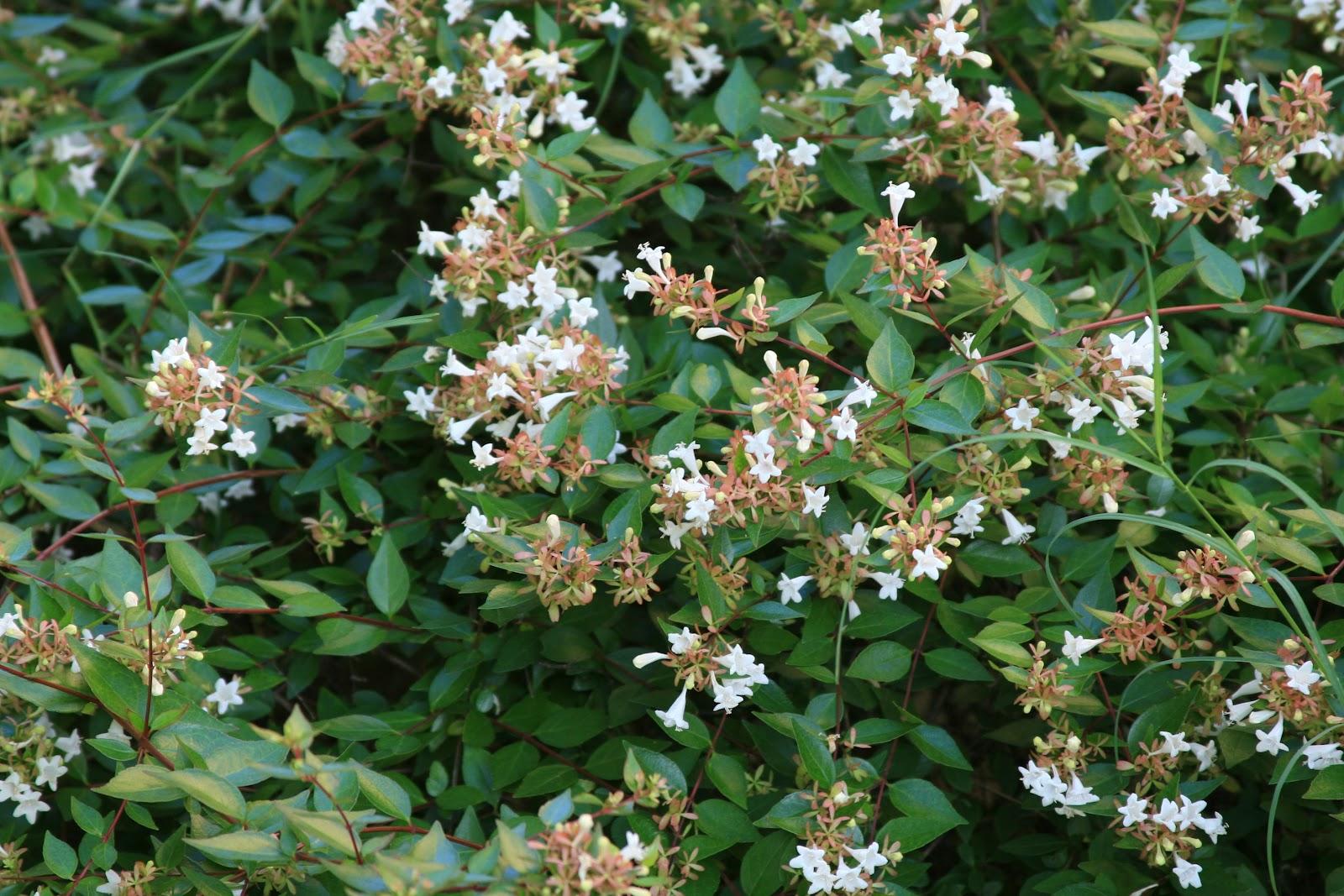 abelia x grandiflora usda hardiness zones 6 9