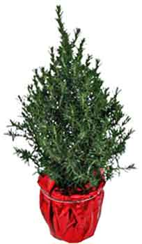 Ozarks Gardening Rosemary Christmas Trees Indoors - Christmas Trees In Home Depot