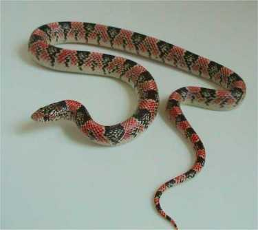 Long nosed+Snake Amazing Colorful Snakes   Most Beautiful Venomous Snakes of the World