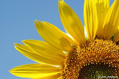 FloareaSoareluiSonnenblumeSunflowerTournesolGirasol