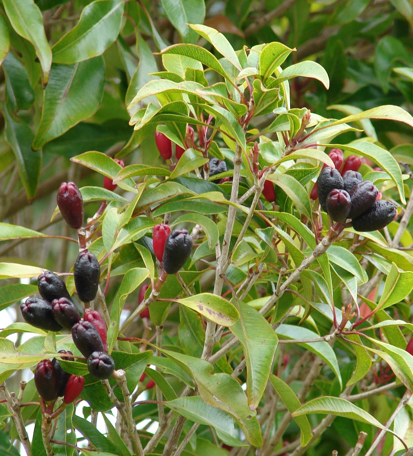 Whole cloves plant images galleries for Where did pi come from