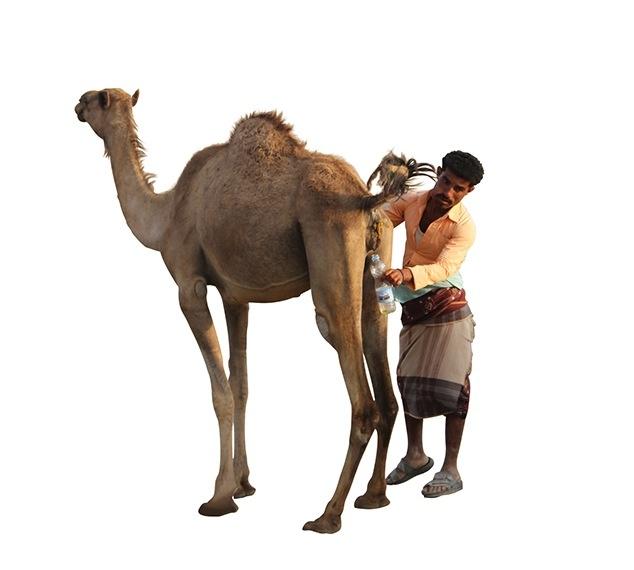 WHO ostrzega: nie pijcie moczu wielbłądów
