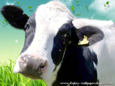Cow Latest Wallpapers 2013