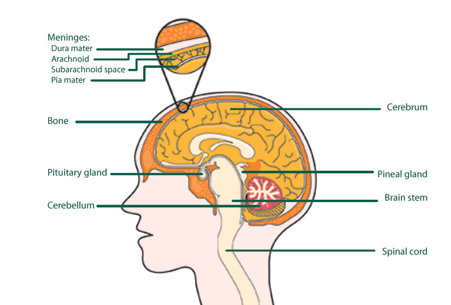 Brain Jack Image: Brain Diagram And Functions