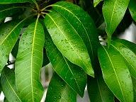 khasiat daun mangga