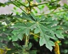 manfaat, khasiat, obat herbal daun pepaya, racikan