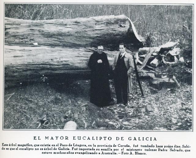 Más eucaliptos,  más   coníferas. Consecuencias de la sed de beneficio$ en la húmeda Galicia. El sector forestal. 1934_El+mayor+eucalipto+de+Galicia+cortado+en+el+pazo+de+Longora