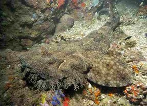 Tasselled Wobbegong Shark