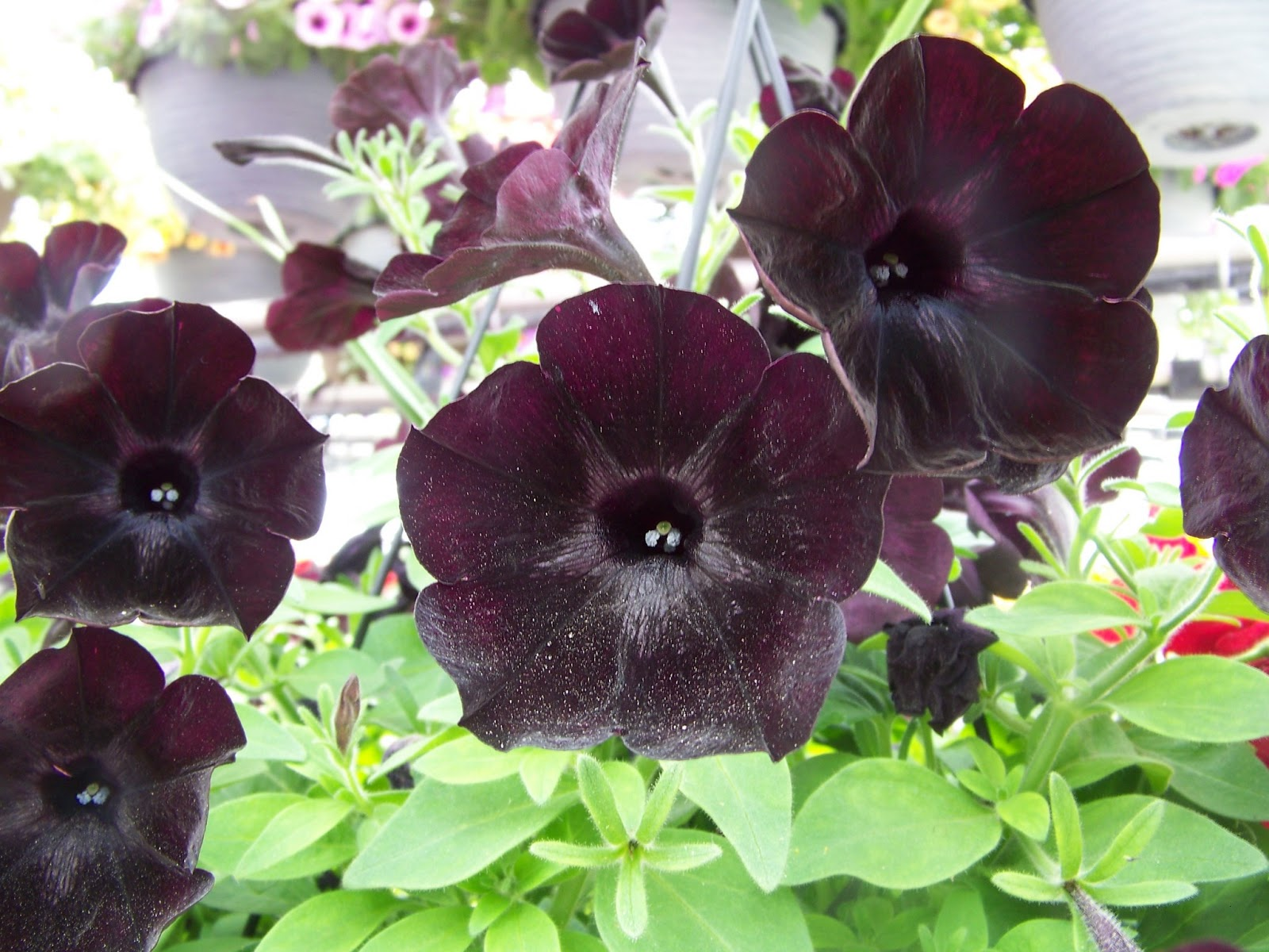 garden girls' selfish year petunia's.. from soothing to anger.., Natural flower