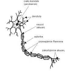 tkanka nerwowa