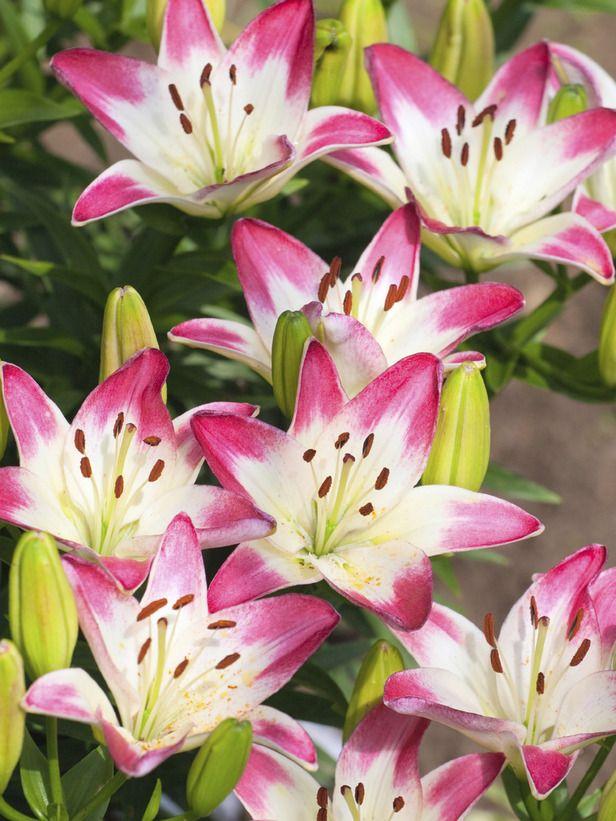 cvet ljiljan