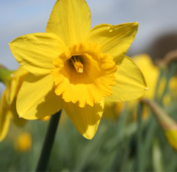 Hoogasian Flowers March Birth Month Flower Is Daffodil