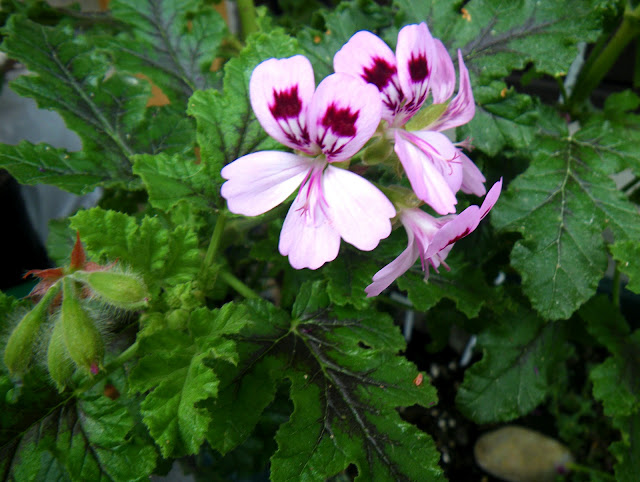 Pelargonium Fair Ellen flowers and leaves