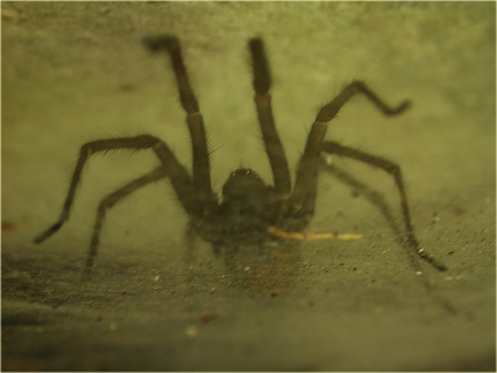 Arachnerds house cobweb spiders tegenaria sp for Extra mural cemetery brighton