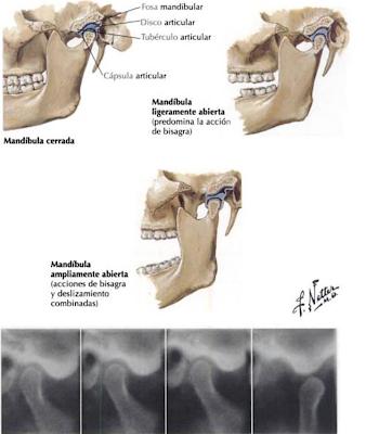 Embriologia Buco-dental: COMPLEJO ARTICULACIÓN TEMPOROMANDIBULAR