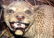 The Zanzibar Leopard