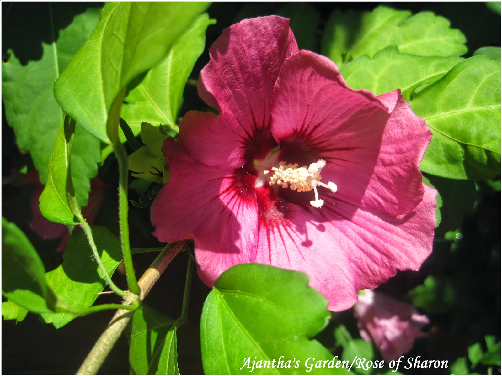 Ajantha's Garden/Rose of Sharon
