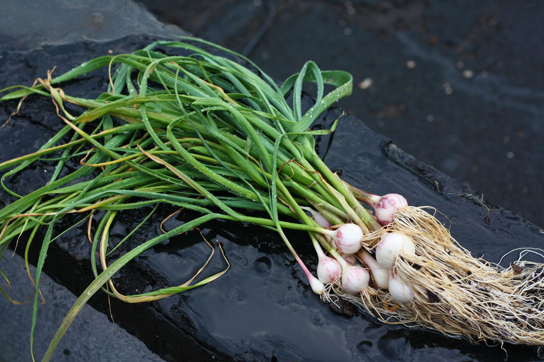 how to grow garlic in pots garden how. Black Bedroom Furniture Sets. Home Design Ideas