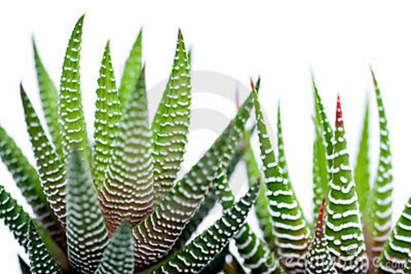 Aloe vera Allows in Detoxification