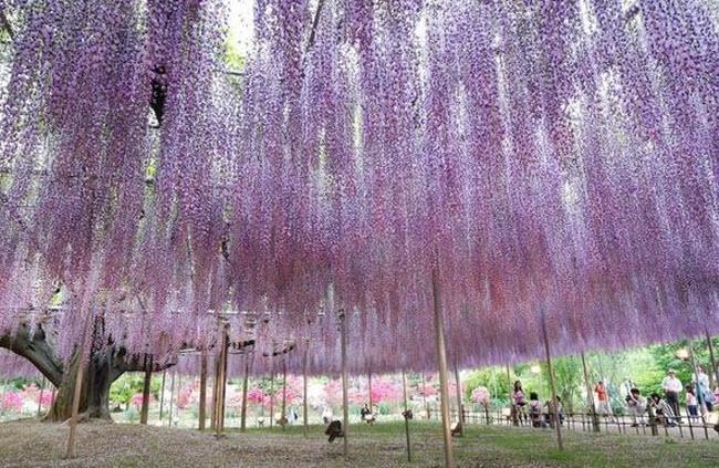 شلالات الزهور اليابانية Water_Fall_Flowers_Japan_11.jpg
