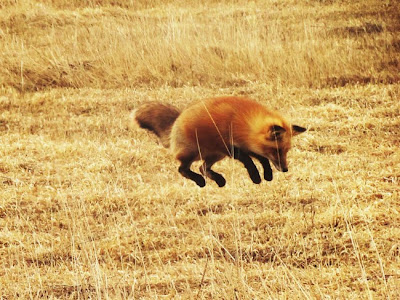 red fox jumping in field