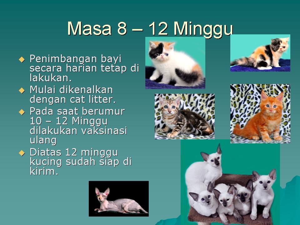 Cara Merawat Bayi Kucing Sukses Beternak Kucing Ras