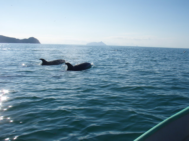 Dolphins at Whangarei Heads