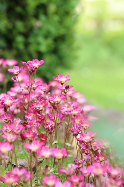 Steinpflanzen rose rosa steinbrech Blüten Frühling Frühlingsblüher Sonne Atelierladen Annettes-atelier