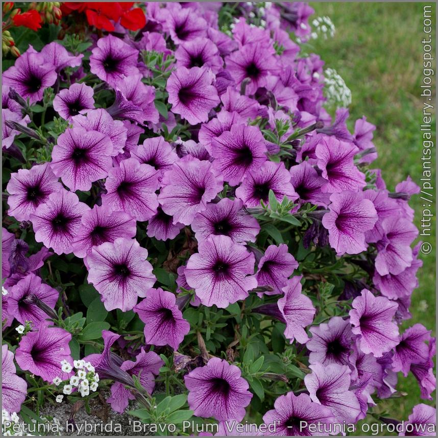 Petunia hybrida 'Bravo Plum Veined' - Petunia ogrodowa 'Bravo Plum Veined'