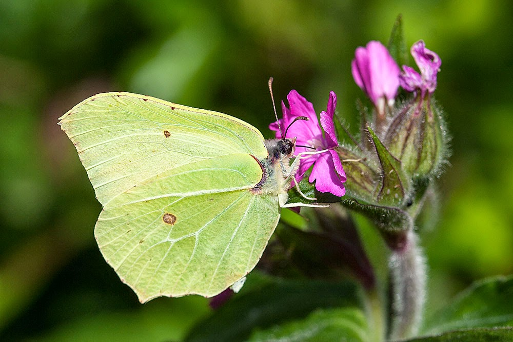 Brimstone - Loughton Valley Park, Milton Keynes