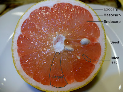 Parts of Citrus – Cross Section