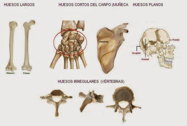 Educación Física I.E.S. Almina : Anatomía del aparato locomotor \