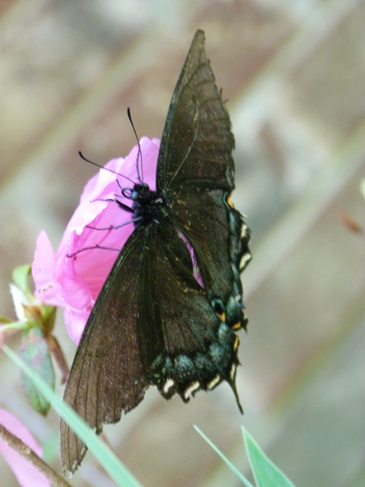 CHMusings: black swallowtail