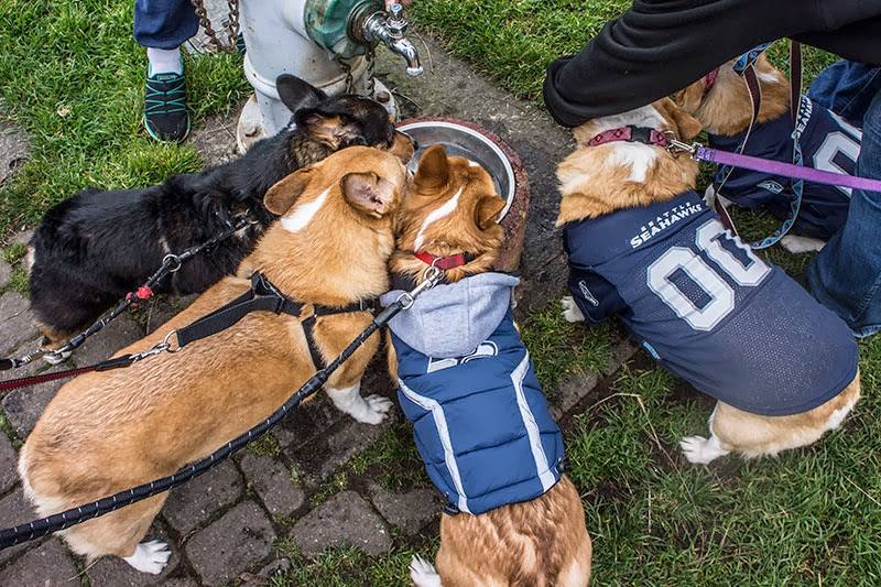 Corgi walk Seattle Seahawks Theme