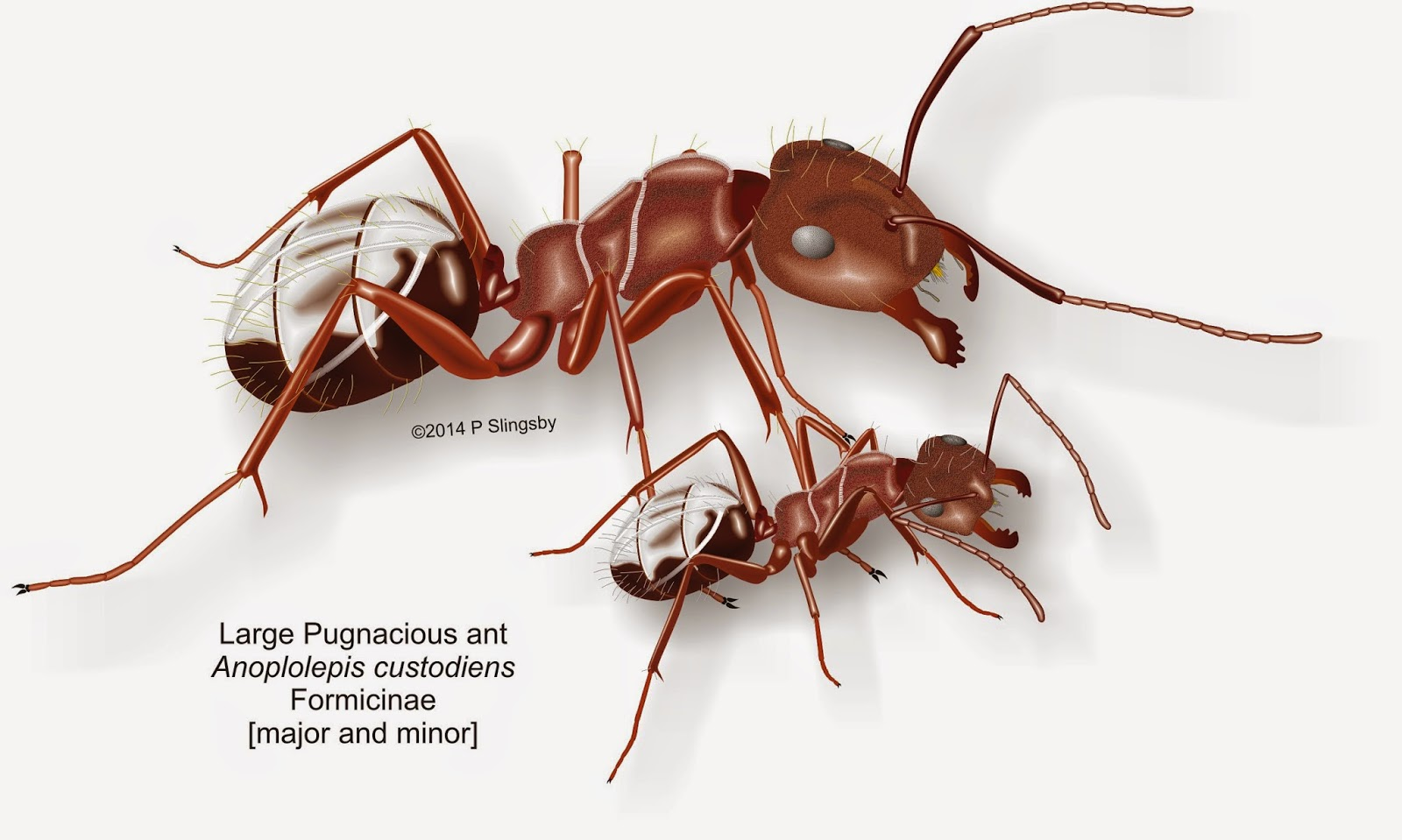 Ants of Southern Africa -: Camponotus species: Sugar ants