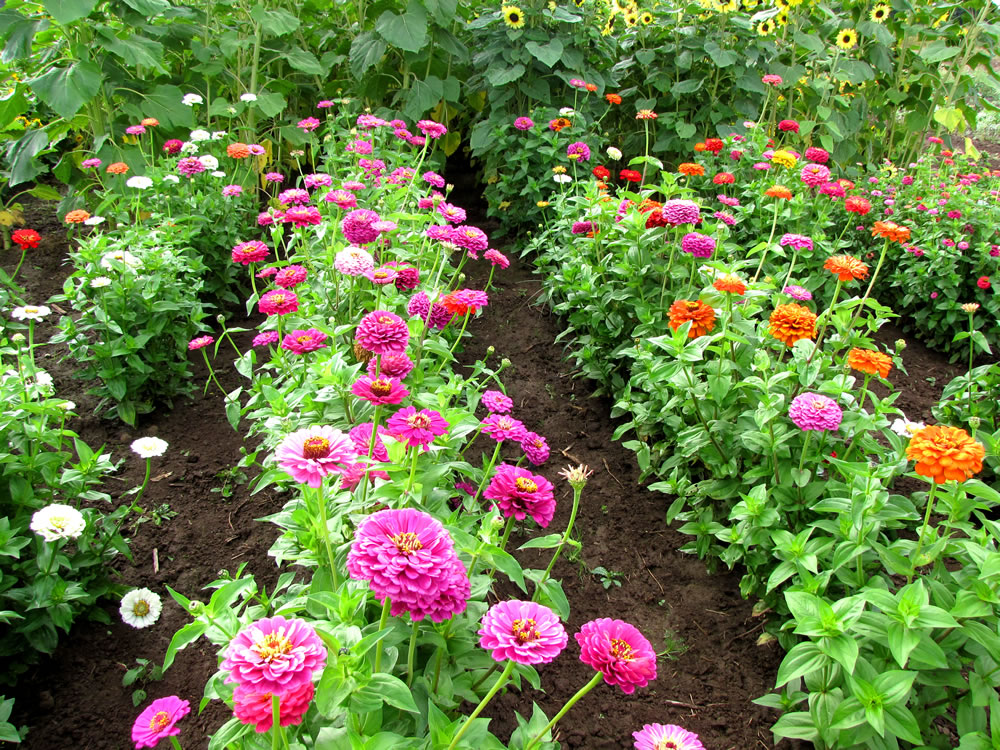 Zinnia Seeds - Grow quality annual zinnia seeds in your