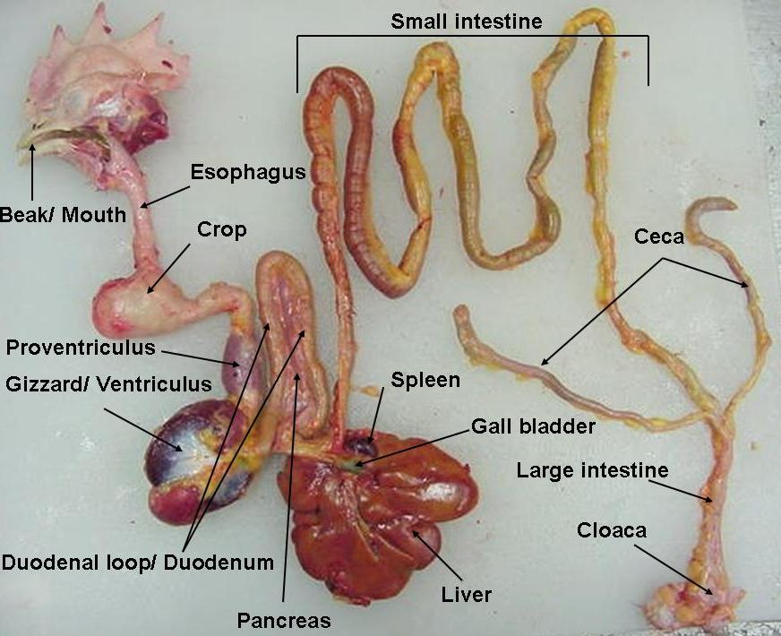 Animal Science The Digestive Tract Of A Chicken
