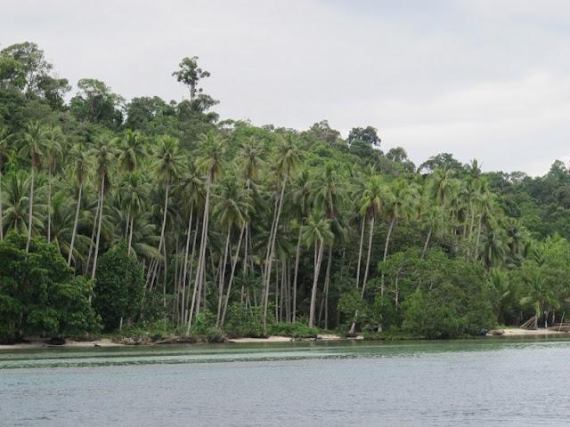 Pohon-pohon kelapa yang berjejer di pinggir pantai