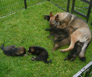 Ruby the German Shepherd feeding her pups in the outside pen