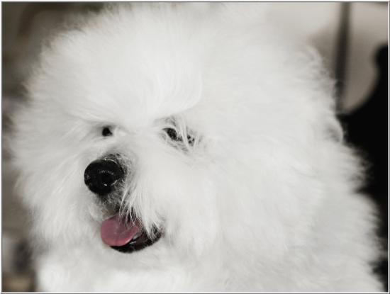 Simply Grand: September 2012 Coton de Tulear puppies