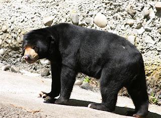 sun bear