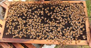 Teknik Cara Budidaya Ternak Lebah Madu